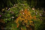 Bunga merona
