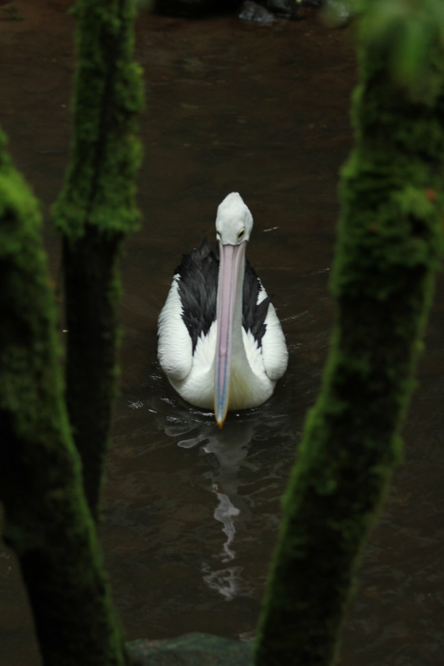 A pelican beyond trees