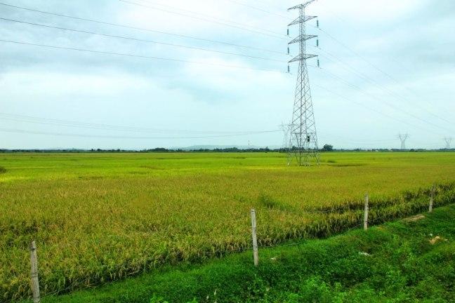 Rice Field @ Cirebon, West Java, Indonesia