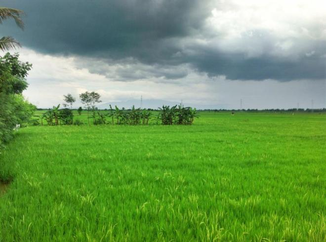 Rice Field @ Brebes, Central Java, Indonesia