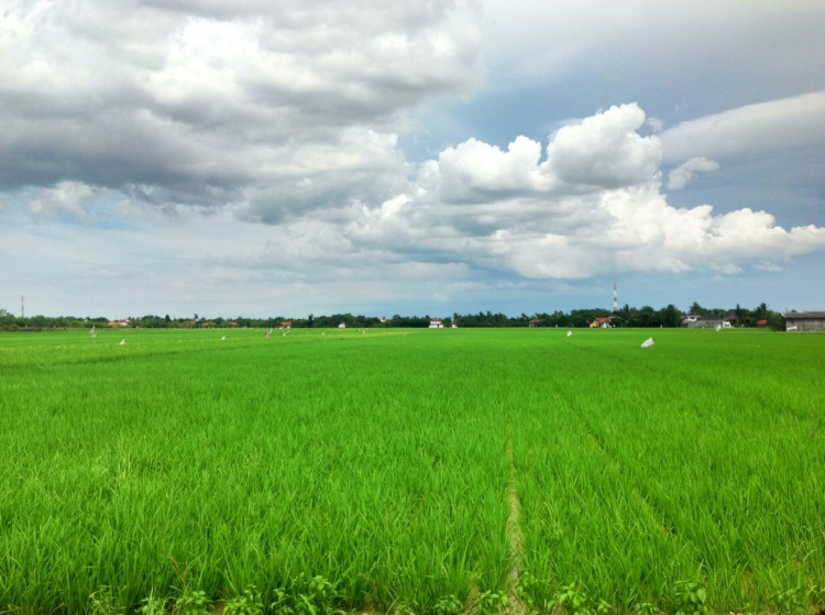 Rice field @ Tegal, Central Java, Indonesia