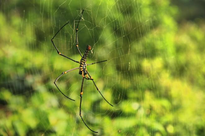 A spider - abdoment view