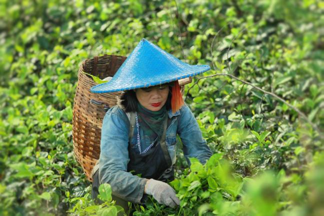 A woman is cutting tea plant