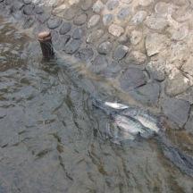 Ikan Tertangkap
