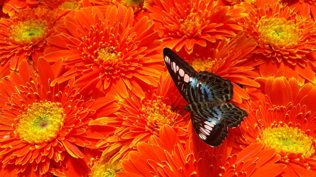 A Butterfly @ Heaven of Nectar