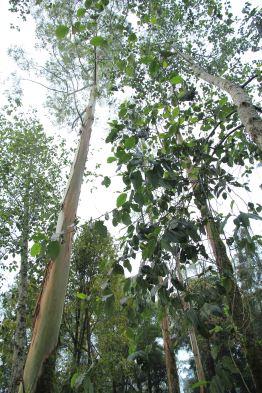 Pepohonan