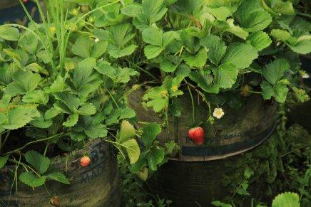Strawberry Merah