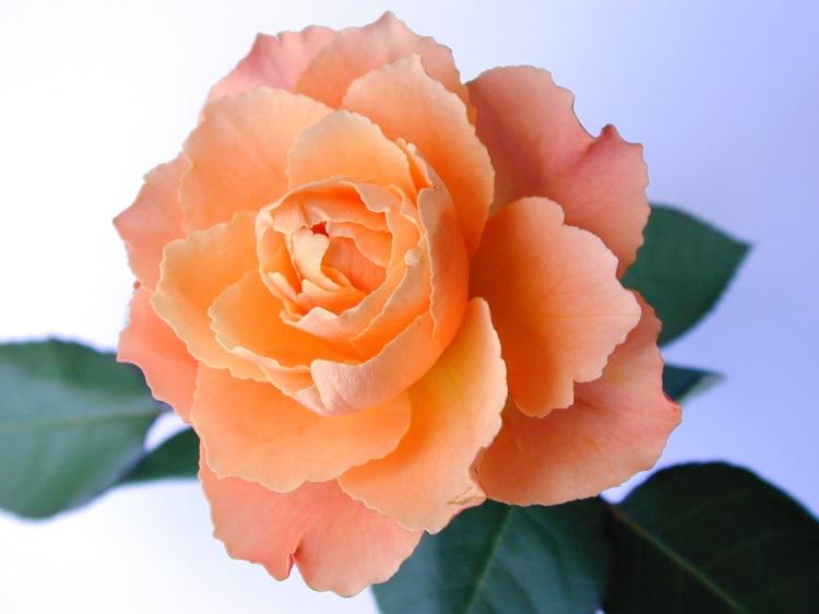 Perfect fresh orange rose